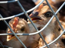 Chicken image via Shutterstock