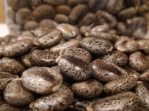 SEA estimates castor seed production to rise by 10% at 1.39 million tonnes