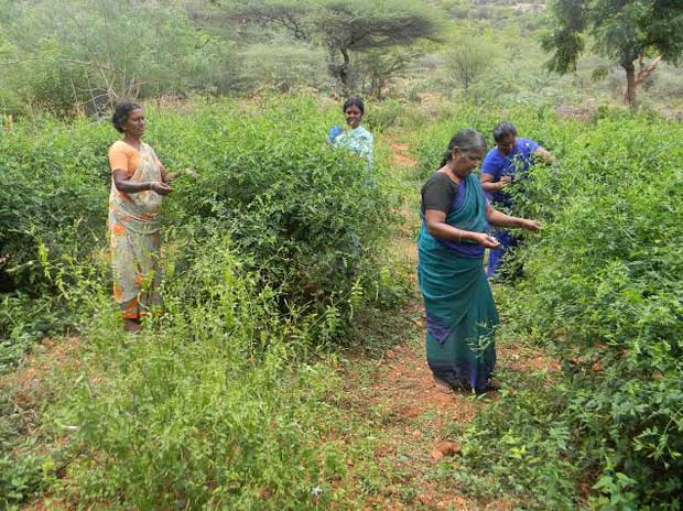 Women pick jasmine blossoms from the fields