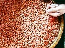Scarce rains to affect kharif groundnut crop