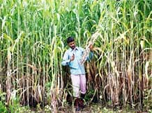 FoodMin proposes Rs 47.50 a qtl of first-ever direct subsidy to cane farmers