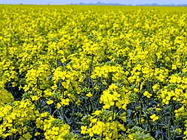 Punjab govt not to conduct field trials of GM mustard