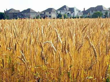 Madhya Pradesh eyes GI tag for Sharbati wheat, meat