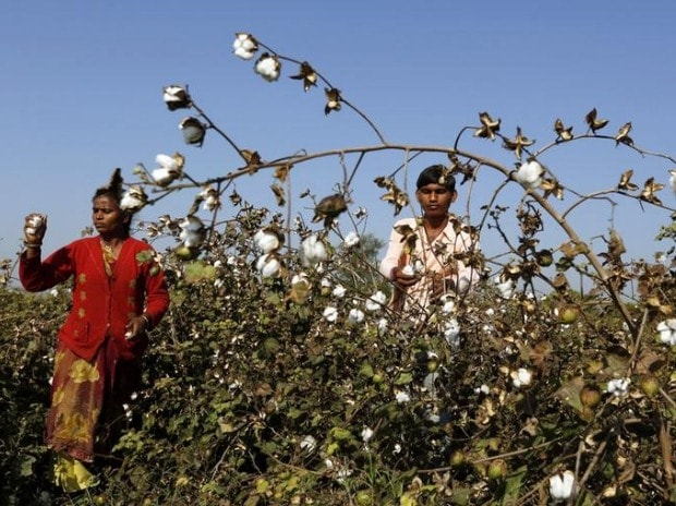Farmers harvest cotton in a field in Nana Viramgam village in Gujarat