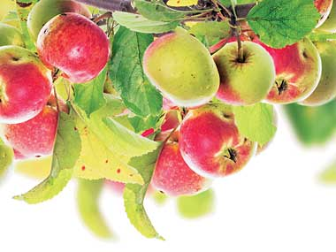 Himachal makes schemes fertile for apple farming