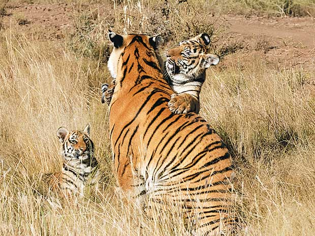The story of Indian tigers