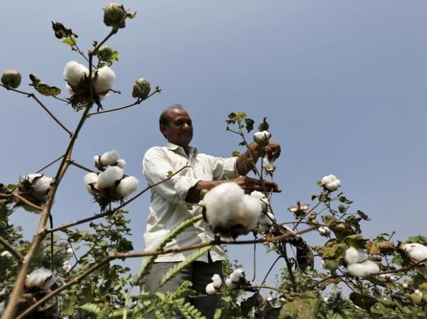 A farmer harvests cotton in his field at Rangpurda village in Gujarat