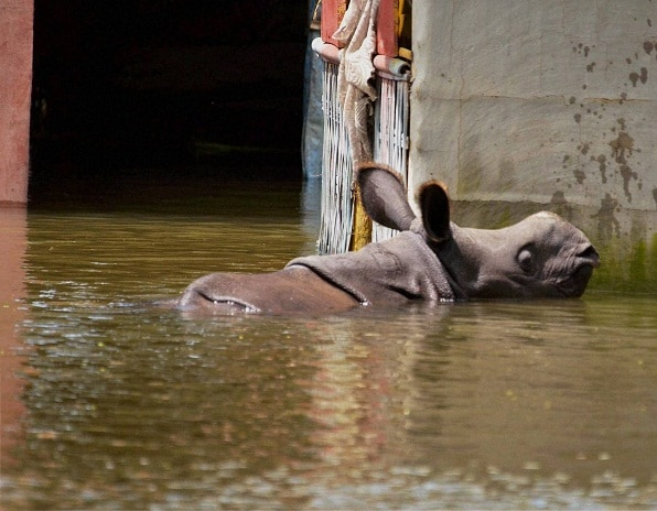 A Rhino calf swims through flood waters at Baghmari Village near Kaziranga National Park. Photo: PTI