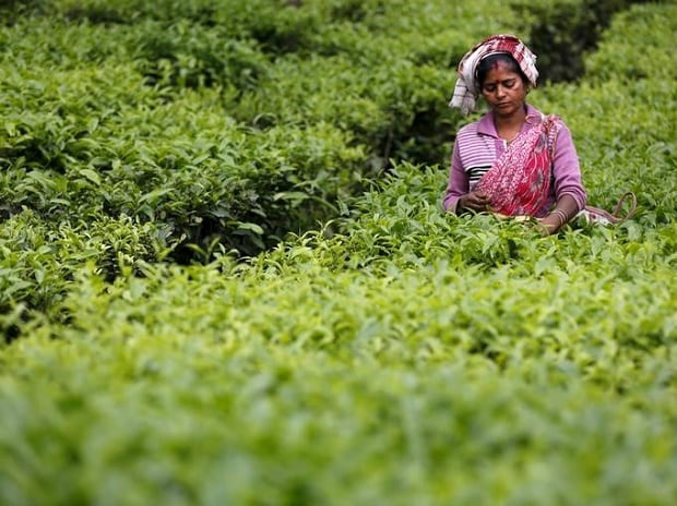 A tea garden worker plucks tea leaves inside a tea estate in India