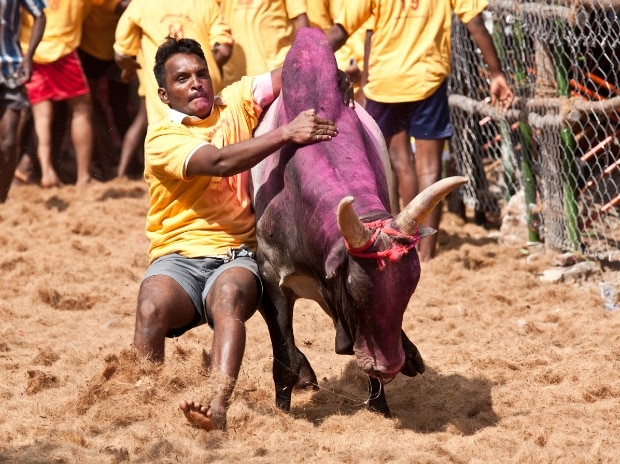 jallikattu, bull, bull fight