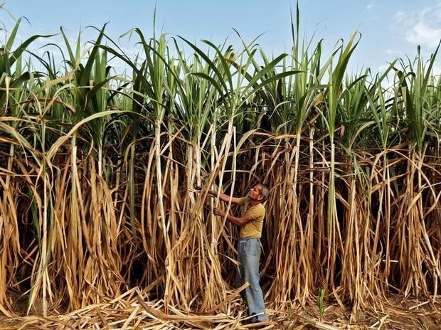 A farmer works in his sugarcane field