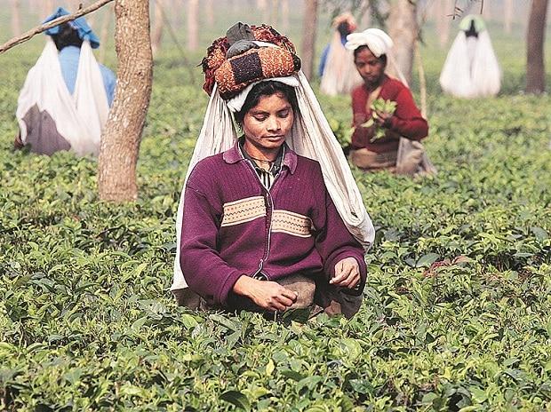 Tea, tea garden