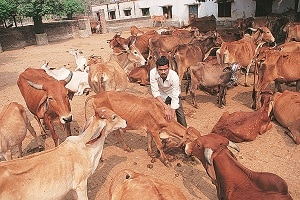 Maan Mohammad  is one of the caretakers at the temple complex's  gaushaala that houses 400 cows