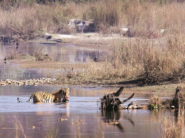 Ranthambore is currently witnessing its highest-ever  tiger population