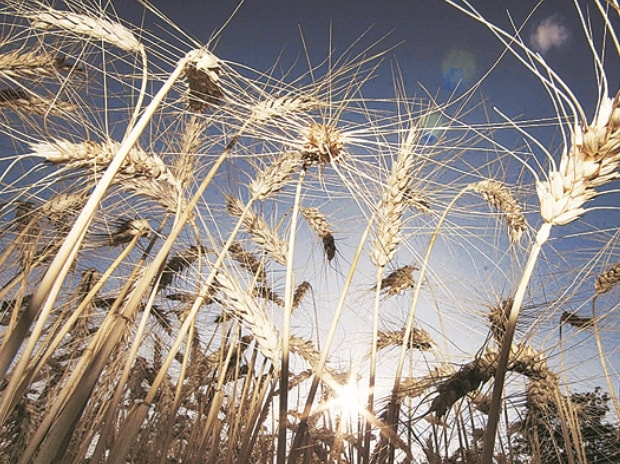 Increase offtake by flour mills; wheat prices scaled up to Rs.15 per quinta