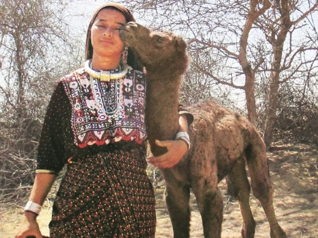 Camel milk, the new superfood: White gold from the desert