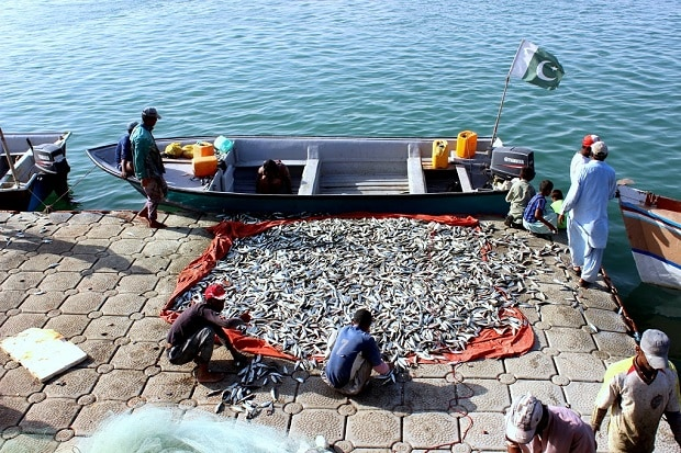 A haul of fish at the Gwadar harbour [image by: Zofeen T. Ebrahim]