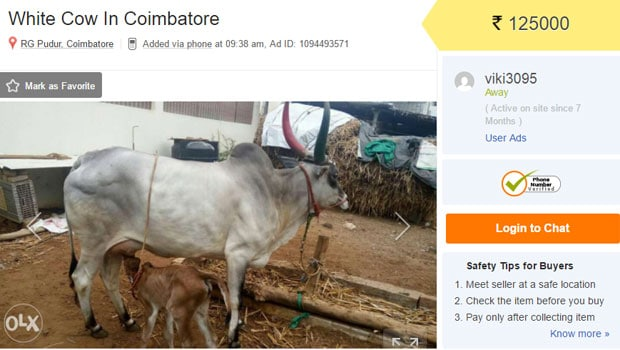 Cow Sale In Olx