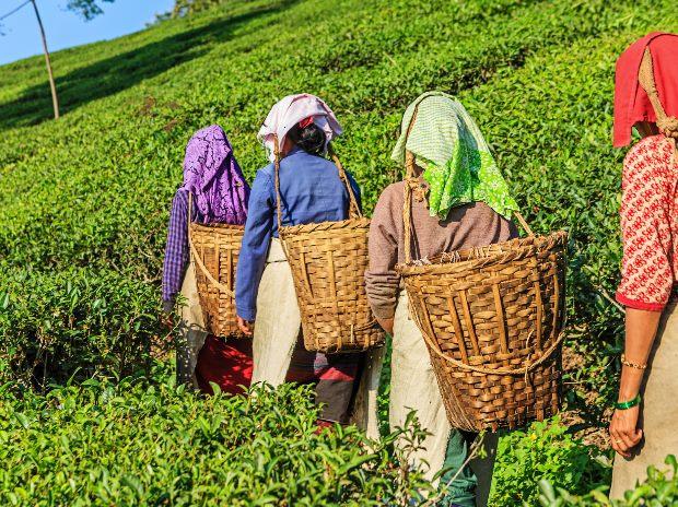 Darjeeling gardens may post losses this year due to indefinite shutdown