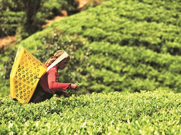 Target to raise tea exports by 22% in 3 yrs might be difficult: Here's why