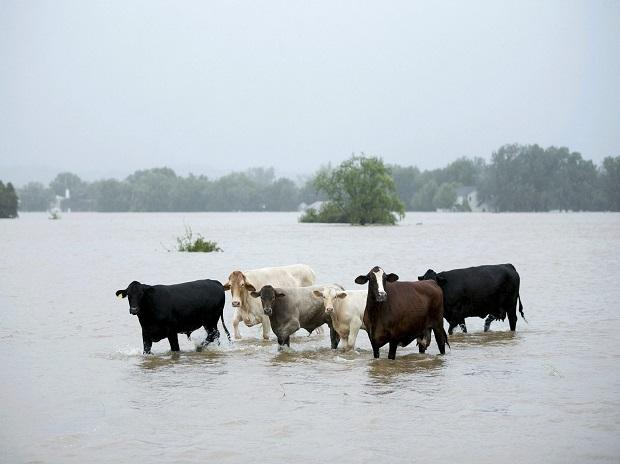 Austin  : Cattle are stranded in a flooded pasture on Highway 71 in La Grange, Texas, after Hurricane Harvey on Monday, Aug. 28, 2017.AP/PTI