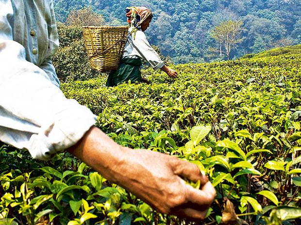 Darjeeling tea workers may get equity stake in gardens