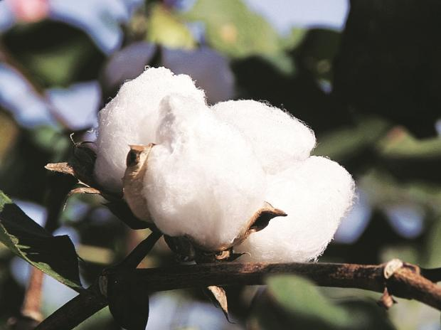 Bt cotton, cotton output