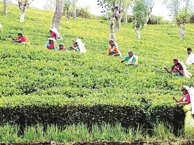 More crises brewing for Darjeeling tea