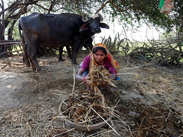 A woman collects buffalo dung outside her house at Fangadi Village on the outskirts of Ahmedabad. Photo: Reuters.