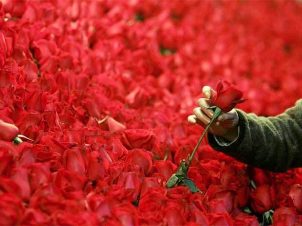 This Valentine's Day, plenty of heartache for India's rose cultivators