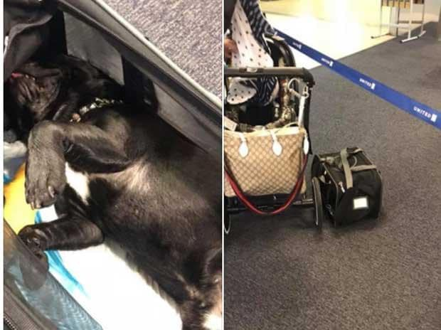 united airlines kills french bulldog
