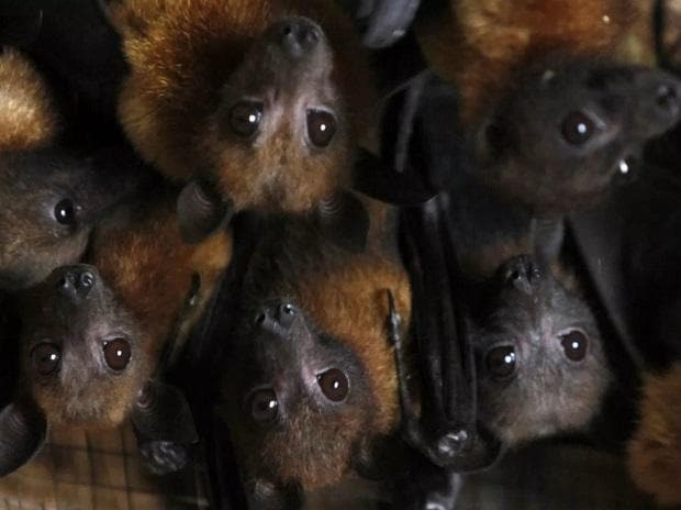 How Nipah is contracted?
