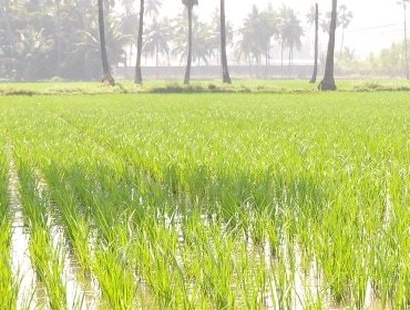 Govt hikes paddy MSP by Rs 80 a quintal