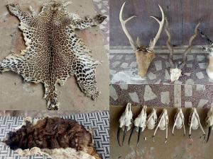 Animal skins and skulls which were recovered along with ivory and 40 guns at retired colonel Devendra Kumar Bishnoi's house