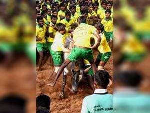 The bull tamers are taming the bulls during the Jallikattu that was organised