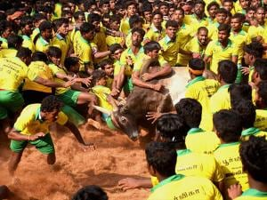 The bull tamers are taming the bulls during the Jallikattu that was organised at Avaniyapuram in Madurai