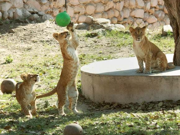 Lion Cubs, Lion cubs playing, Lioness, Zoo, Lucknow Zoo, Lucknow