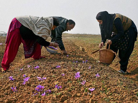 saffron, saffron farming, saffron fields, flowers, Pampore