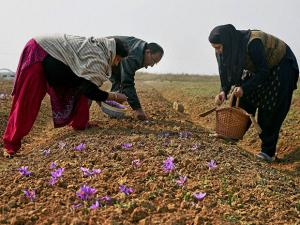 A family picking saffron flowers from a field in Pampore of Pulwama