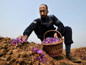 A farmer picking saffron flowers from a field in Pampore of Pulwama district