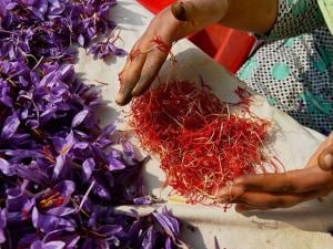 A girl displaying the saffron after picking it from flowers at field in Pampore of Pulwama district