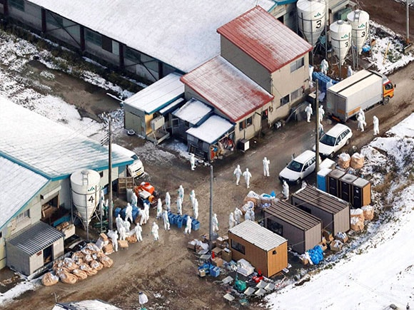 Bird flu, Chicken, bird, Flu, Farm, Japan
