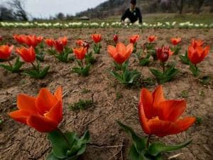gardener works inside the Tulip Garden on the banks of Dal Lake, in Srinagar