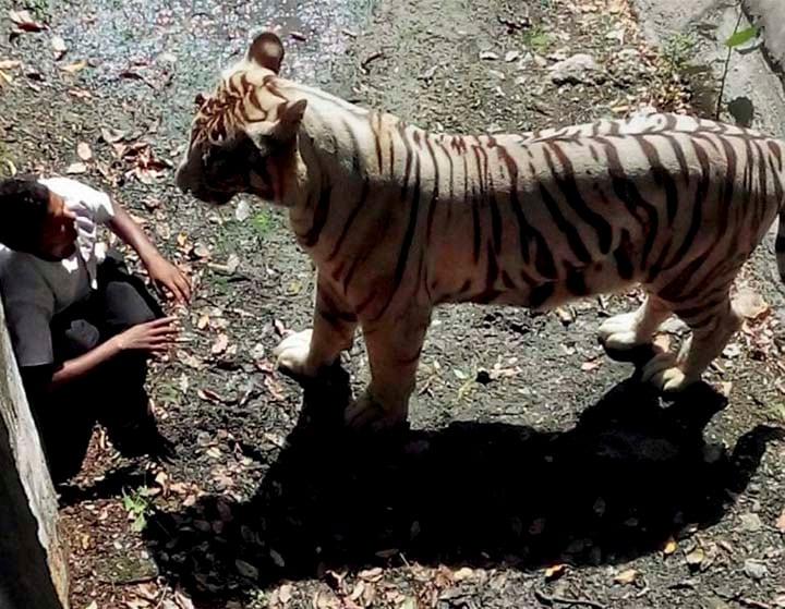 White Tiger, staring, student, enclosure, Delhi, Zoo
