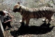 An irate White Tiger staring at a student