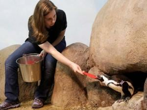 Biologist Amy Walters hands out a valentine heart to an African penguin