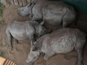 young rhinos nap in an enclosure at a rhino orphanage in the Hluhluwe-iMfolozi Game Reserve in the KwaZulu Natal province South Africa