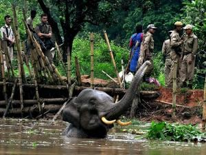 Forest officials try to feed an injured elephant trapped in a pond