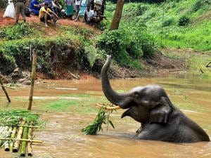injured elephant trapped in a pond in the Amchang Wildlife Sanctuary