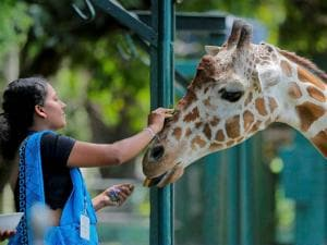 A Sri Lankan zoological garden employee reaches to apply oil on a giraffe as a blessing ritual to mark the Sinhalese and Tamil traditional New Year in Colombo, Sri Lanka